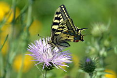 Borboleta maravilhosa de Tiger Swallowtail na flor cor-de-rosa imagem de stock