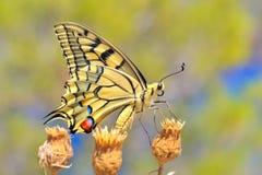 Borboleta maravilhosa na natureza Imagem de Stock Royalty Free