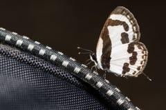 Borboleta marrom branca pequena que come o mineral da trouxa Fotografia de Stock