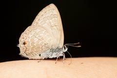 Borboleta marrom pequena que come o mineral da pele humana Fotografia de Stock Royalty Free