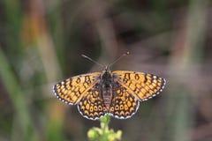 A borboleta mostra fora suas asas bonitas Foto de Stock