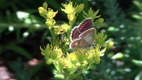 A borboleta move as asas em uma flor video estoque