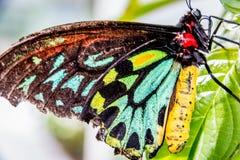 borboleta Multi-colorida Imagem de Stock