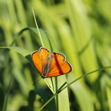 Borboleta (myrmidone de Colias esp ) Fotos de Stock Royalty Free
