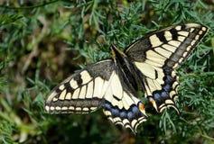 Borboleta na clareira Borboletas bonitas brilhantes Borboleta de Swallowtail, machaon de Papilio fotos de stock