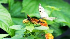 Borboleta na borboleta de //Monarch da flor em uma flor imagens de stock royalty free