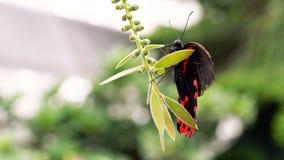 Borboleta na borboleta de //Monarch da flor em uma flor foto de stock royalty free