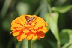 Borboleta na flor alaranjada fotografia de stock royalty free