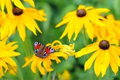 Borboleta na flor amarela Imagem de Stock
