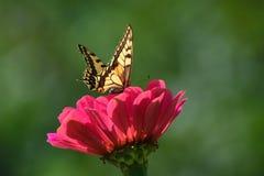 Borboleta na flor com fundo verde, natural foto de stock royalty free