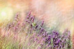 Borboleta na flor da alfazema, foco seletivo na borboleta branca Imagens de Stock Royalty Free