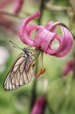 Borboleta na flor do lírio branco imagem de stock royalty free