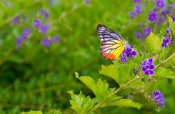 Borboleta na flor - fundo da flor do borrão Fotografia de Stock