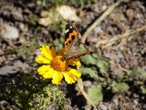 Borboleta na flor na luz do sol da manhã Fotos de Stock Royalty Free