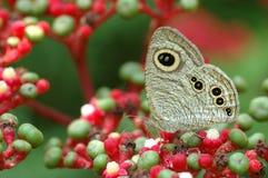 Borboleta na flor vermelha Imagem de Stock Royalty Free