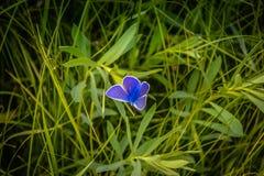 Borboleta na grama Foto de Stock Royalty Free
