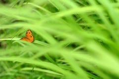 Borboleta na grama verde Fotos de Stock Royalty Free