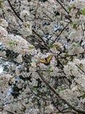 Borboleta nas flores de cereja imagens de stock