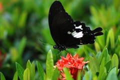 Borboleta natural em Tailândia Fotografia de Stock Royalty Free