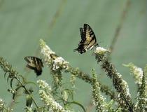 Borboleta no arbusto de borboleta na frente do telhado verde Fotos de Stock Royalty Free