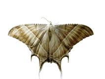 A borboleta no fundo branco Fotografia de Stock Royalty Free