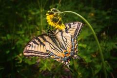 Borboleta ocidental de Swallowtail foto de stock royalty free
