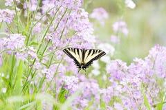 Borboleta ocidental de Swallowtail do tigre fotos de stock