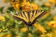 Borboleta ocidental de Swallowtail do tigre fotografia de stock royalty free