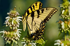 Borboleta ocidental de Swallowtail do tigre Fotografia de Stock
