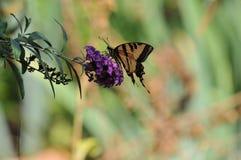 Borboleta ocidental do rutulus de Tiger Swallowtail Papilio na borboleta Bush foto de stock royalty free