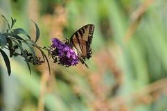 Borboleta ocidental do rutulus de Tiger Swallowtail Papilio na borboleta Bush fotografia de stock