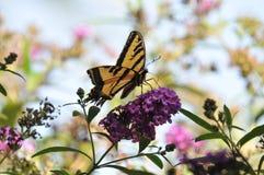 Borboleta ocidental do rutulus de Tiger Swallowtail Papilio na borboleta Bush fotografia de stock royalty free