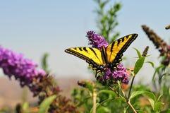 Borboleta ocidental do rutulus de Tiger Swallowtail Papilio na borboleta Bush imagem de stock royalty free