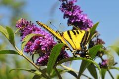 Borboleta ocidental do rutulus de Tiger Swallowtail Papilio na borboleta Bush fotos de stock royalty free