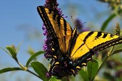 Borboleta ocidental do rutulus de Tiger Swallowtail Papilio na borboleta Bush foto de stock