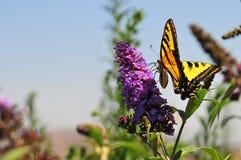Borboleta ocidental do rutulus de Tiger Swallowtail Papilio que alimenta na borboleta Bush fotografia de stock