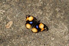 Borboleta, oenone amarelo do oenone de Pansy Junonia Fotografia de Stock Royalty Free