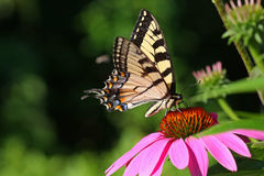 Borboleta oriental de Swallowtail do tigre Imagem de Stock