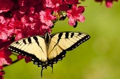 Borboleta oriental de Swallowtail do tigre em azáleas Imagem de Stock