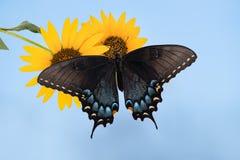 Borboleta oriental de Tiger Swallowtail (glaucus de Papilio) no sunflow fotografia de stock