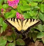 Borboleta oriental de Tiger Swallowtail que alimenta em flores cor-de-rosa do Lantana fotos de stock royalty free