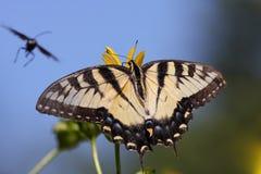 Borboleta oriental do swallowtail do tigre fotografia de stock royalty free
