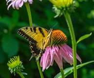 Borboleta oriental do swallowtail do tigre em um campo do Echinacea Coneflowers foto de stock royalty free