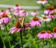 Borboleta oriental do swallowtail do tigre em um campo do Echinacea Coneflowers fotos de stock