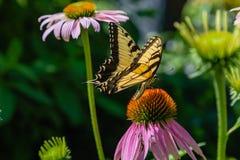 Borboleta oriental do swallowtail do tigre em um campo do Echinacea Coneflowers imagem de stock royalty free