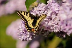Borboleta oriental do swallowtail do tigre na mola no jardim com as flores roxas da árvore lilás do syringa Estação de mola foto de stock