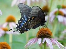 Borboleta oriental fêmea de Swallowtail imagens de stock