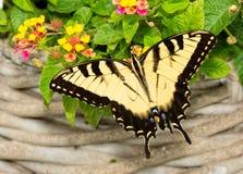 Borboleta oriental masculina de Tiger Swallowtail que alimenta em flores do Lantana foto de stock royalty free