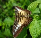 Borboleta ou traça de Brown nas folhas do verde e no fundo macio Fotografia de Stock Royalty Free