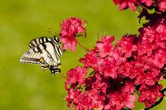 Borboleta pálida de Swallowtail em arbustos da azálea Imagem de Stock